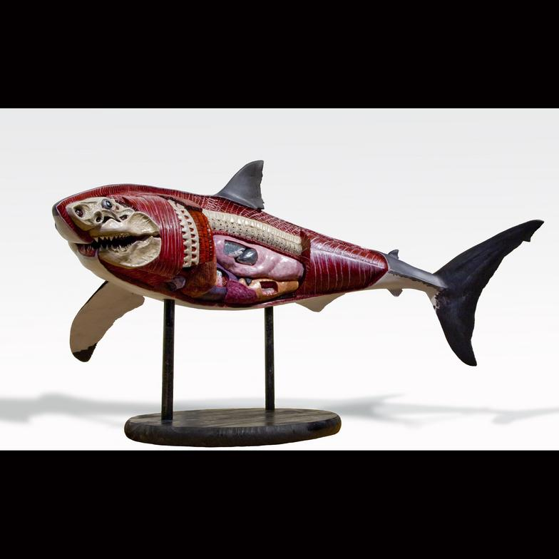 Great white shark anatomy model